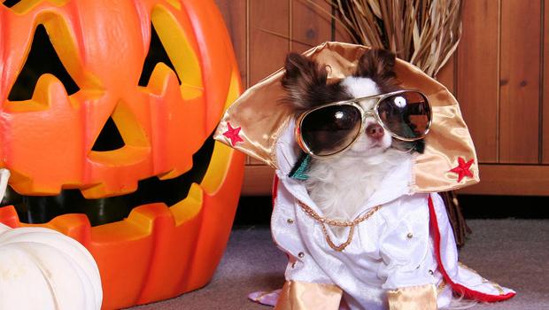 2-halloween-dog-portraits-chihuahua-renae-frankz